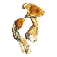 B+ magic mushrooms