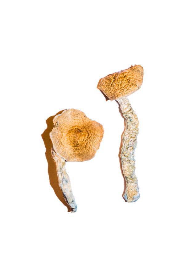 Transkei Magic Mushrooms