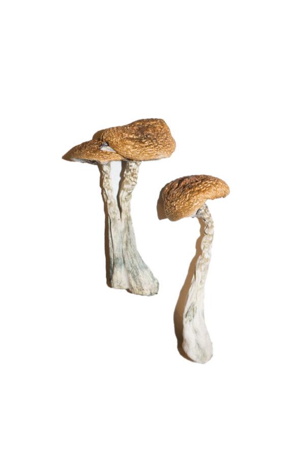 Wavy Caps Magic Mushrooms
